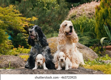 English Cocker Spaniel caring female and male mother with two small puppies, 24 days old dogs outdoor on garden rock. Mother love concept.