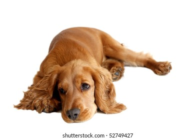 English Cocker Spaniel dog in front of a white background