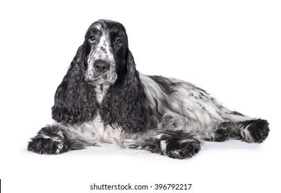 English cocker spaniel dog lying isolated on white