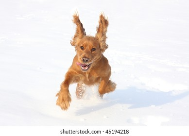 English cocker spaniel dog  playing in the snow