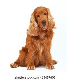 English cocker spaniel dog sit  on isolated white background