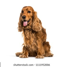 English Cocker Spaniel dog sitting and panting, isolated