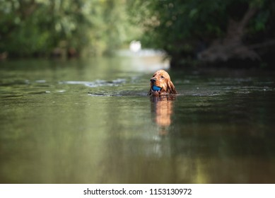 English Cocker Spaniel dog swimming in a river