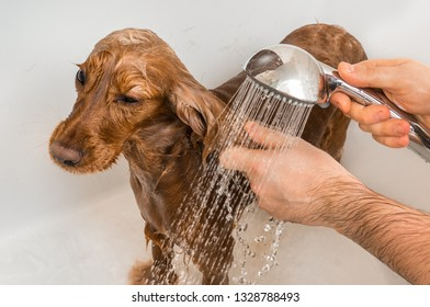 English cocker spaniel dog taking a shower with shampoo, soap and water in a bathtub