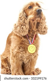 English Cocker spaniel dog wearing prize winning medal