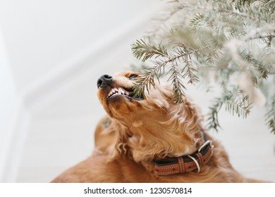English cocker spaniel gnawing Christmas tree branch. Happy New Year and merry Christmas with pets