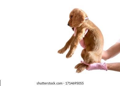 English cocker spaniel in the hands of a veterinarian on a white background with copyscape