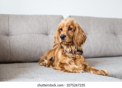 English cocker spaniel is lying on couch at home