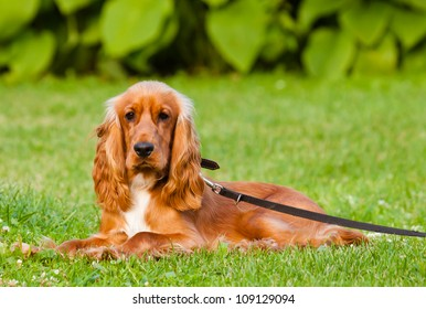 English Cocker Spaniel lying on grass outdoors, in the park
