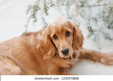 English cocker spaniel lying under Christmas tree. Happy New Year and merry Christmas with pets