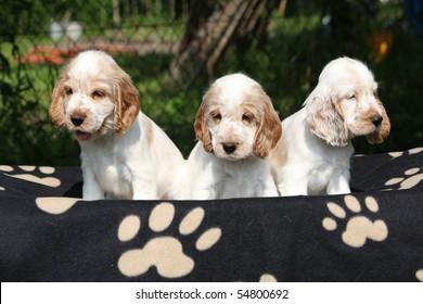 English cocker spaniel puppies on dark background