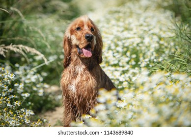 English Cocker Spaniel puppy dog sitting in a field covered in daisy flowers on a sunny day