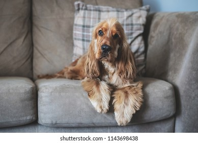 English Cocker Spaniel puppy dog laying down relaxing on a sofa