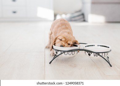 English cocker spaniel puppy eating dog food and drinking water from ceramic bowl