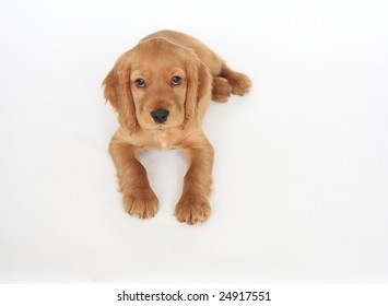 English Cocker Spaniel puppy in front of a white background