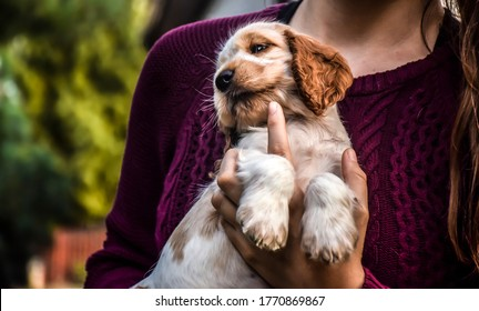 English Cocker Spaniel puppy in his owner's hands.