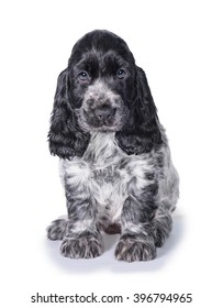 English cocker spaniel puppy isolated on white