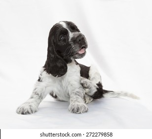 English Cocker Spaniel Puppy. Seven weeks old.