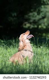 English cocker spaniel puppy six month outdoor portrait at summer park on green grass