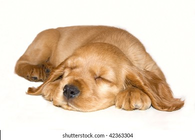 English Cocker Spaniel puppy sleepy in front of a white background
