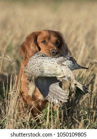 An English Cocker Spaniel with a Sharp-tailed grouse in North Dakota