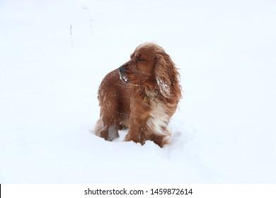 English cocker spaniel in winter