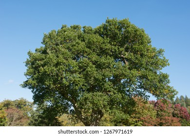 English or Common Oak Tree in a park in Rural Devon, England, UK