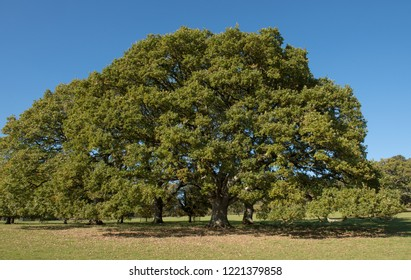 English or Common Oak Trees (Quercus robur) with a Bright Blue Sky Background in a Park in Rural Devon, England, UK