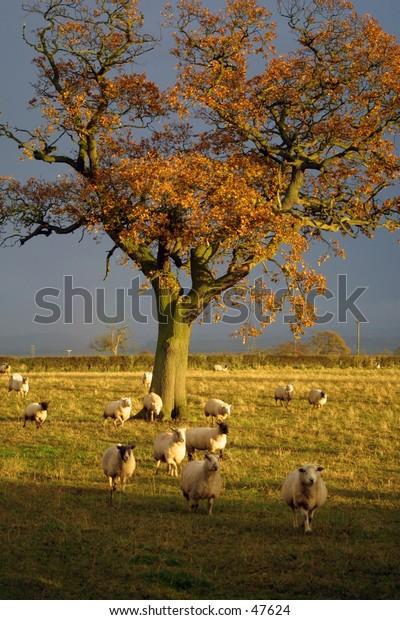 English countryside sheep scene