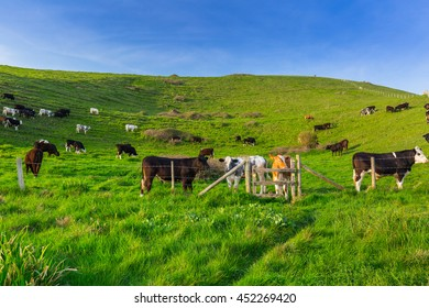 English cows and bulls on the grass meadow
