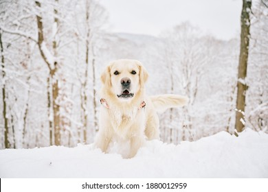 English Cream Golden Retriever is having the time of his life after snowfall in Pittsburgh, Western Pennsylvania. Keep calm and have fun.