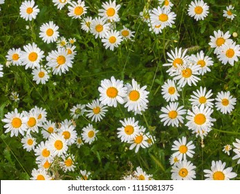 English daisies growing in a meadow in Worcestershire, England