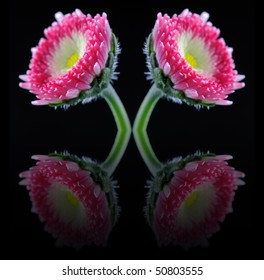 English Daisy (Bellis Perennis) - Asteraceae - With Reflections