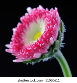 English Daisy (Bellis Perennis) Asteraceae - Macro