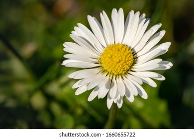 English daisy in the grass on a sunny day - Shutterstock ID 1660655722
