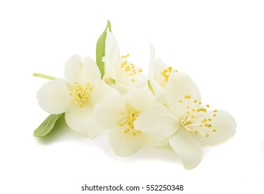 English dogwood isolated on white