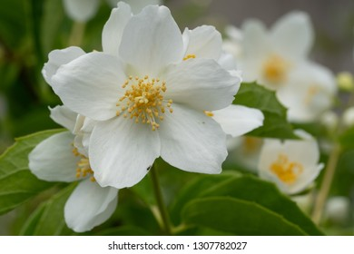 English dogwood (Philadelphus coronarius), close up of the flower head