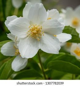 English dogwood (Philadelphus coronarius), close up of the flower head