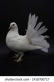 English Fantail pigeon, beautiful white pigeon isolated on black background