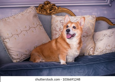 English fashionable breed of corgi dogs. Favorite breed of the Queen of England. Human best friend