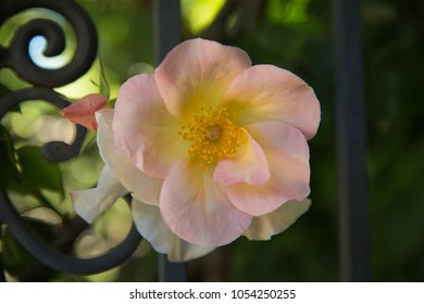 English Garden Rose With Iron Wrought Gate
