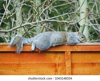 English  Grey Squirrel Relaxing