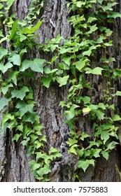 English Ivy Creeping over an old bark tree.