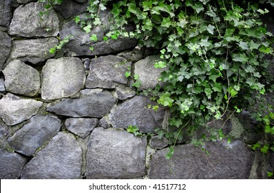 English Ivy Growing on Stone Wall