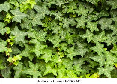 English Ivy 'Hedera Helix' is a clinging evergreen vine plant.