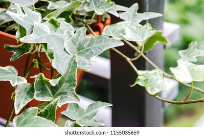 English ivy or Hedera helix in flower pot at balcony home and garden