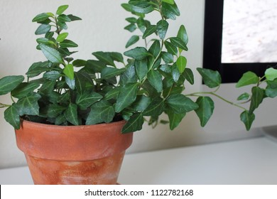 English ivy Hedera helix house plant in brown terra cotta pot minimal white background