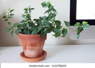 English ivy houseplant in terra cotta pot on desk table