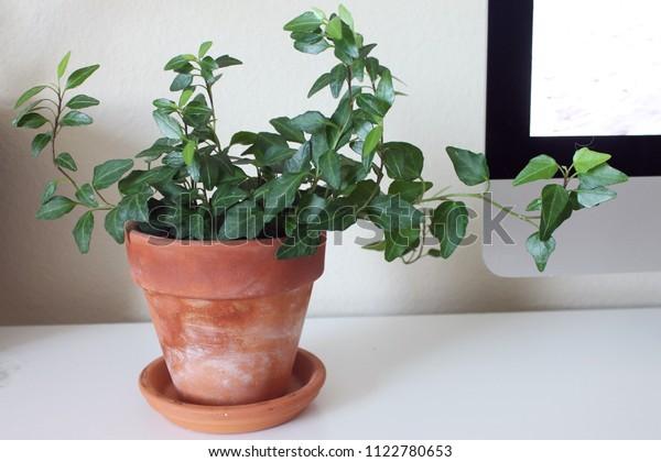 English Ivy Houseplant Terra Cotta Pot Stock Photo (Edit Now ... on ivy houseplant, yucca elephantipes house plant, ivy water plant, ivy ice plant, ivy flower, ivy indoor plant,