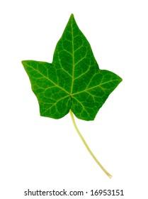 English Ivy Leaf Isolated